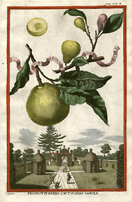 Volckamer's_Illustration_of_Bergamot_Fruit